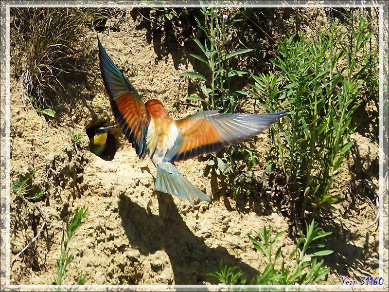 Guêpier d'Europe, European Bee-eater (Merops apiaster) : nourrissage des jeunes - Rouède - 31