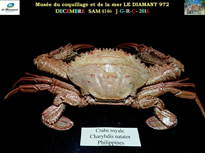 Le monde des coquillages de mer   3/5  13/    LE DIAMANT MARTINIQUE       D    09/04/2018