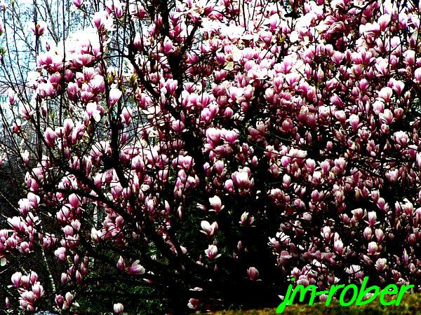 Le tulipier magnolia, un air de printemps