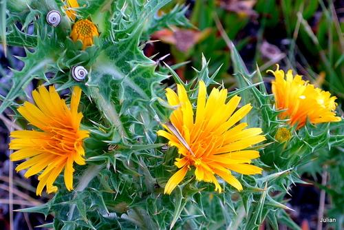 Un chardon aux fleurs jaunes ?