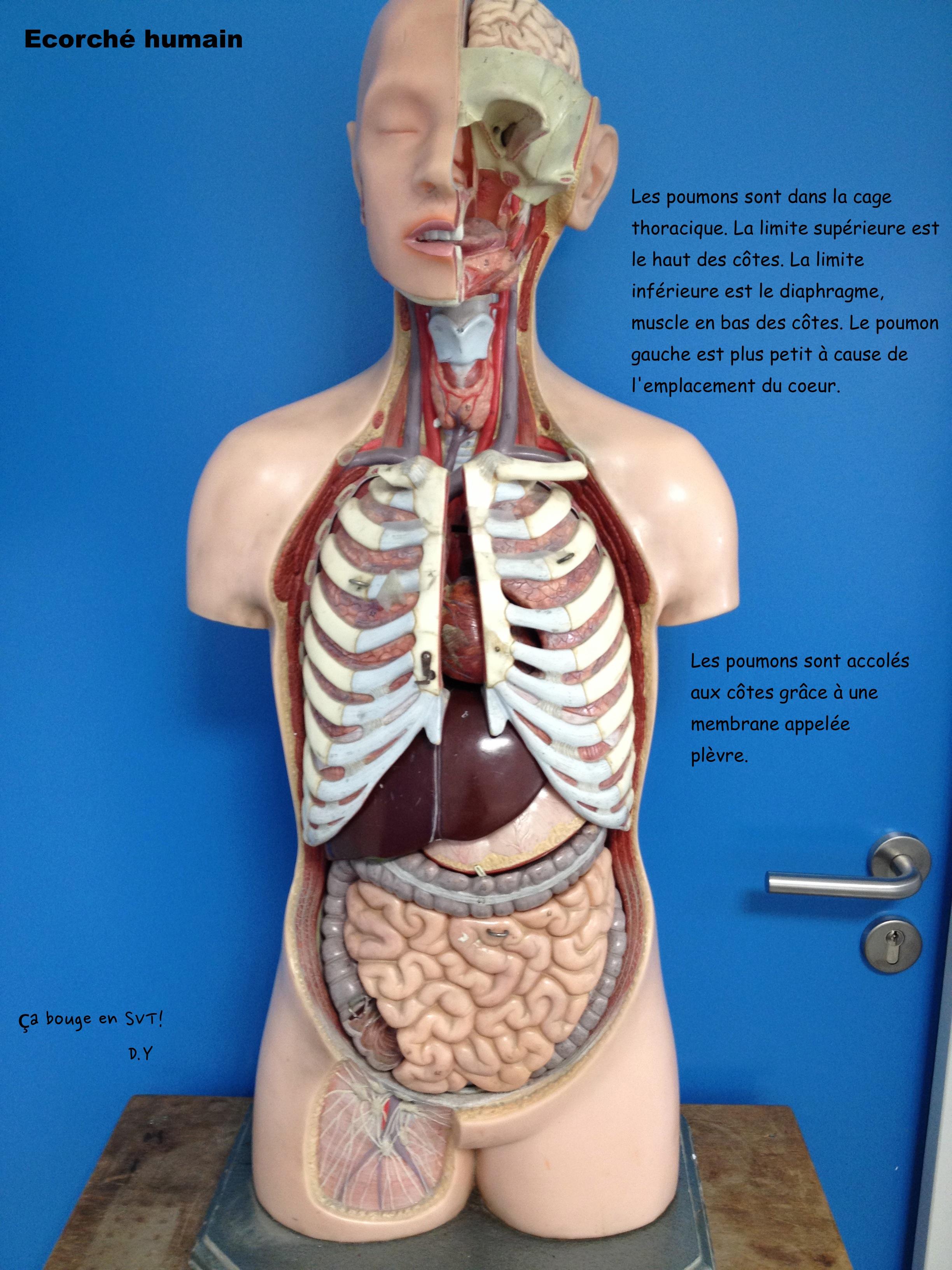 Schemas du corps humain for A l interieur du corps humain