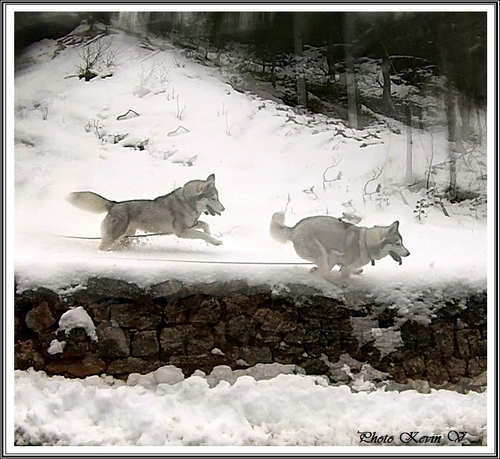 Huskys dans la neige (février 2015)