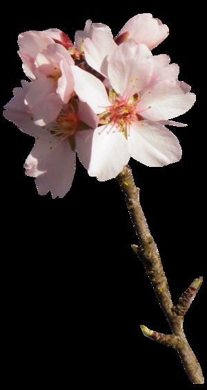 Tube fleur d'Amandier