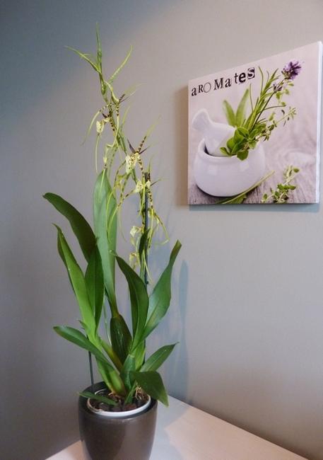 Brassia  arachnoidea