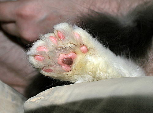 Les chats polydactyles :