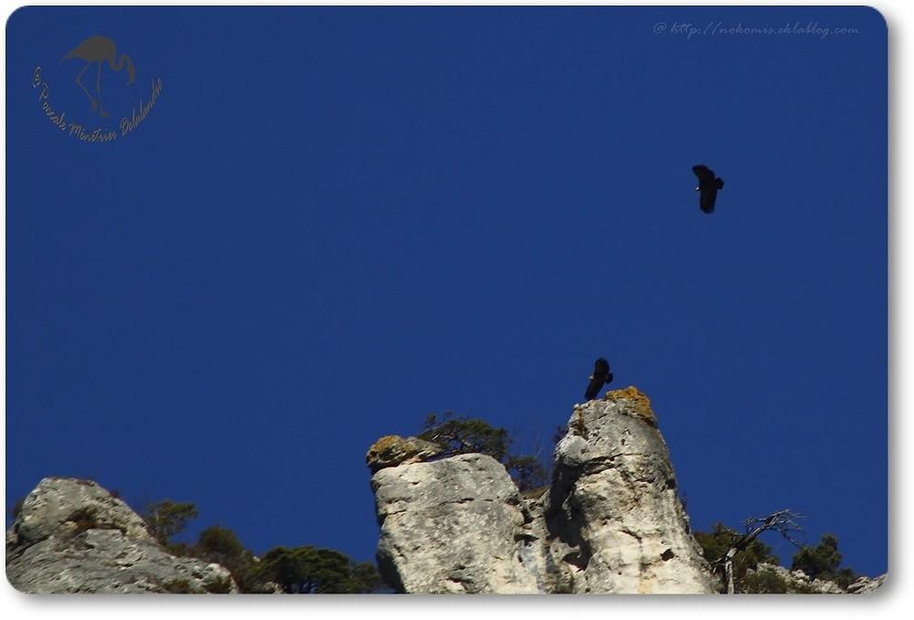 Vols de vautours (Gorges de la Jonte)...