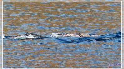Observations de narvals - Tremblay Sound - Terre de Baffin - Nunavut - Canada
