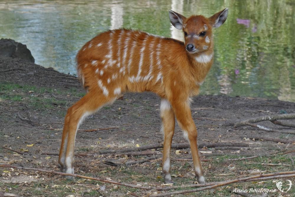 Jeune Sitatunga