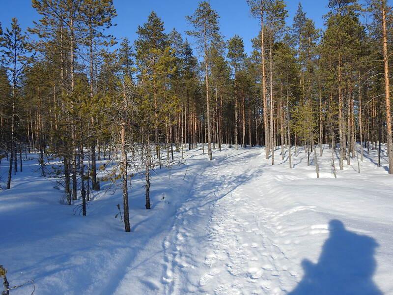 Husky de Sibérie en Laponie