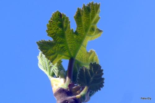 Premières feuilles du figuier
