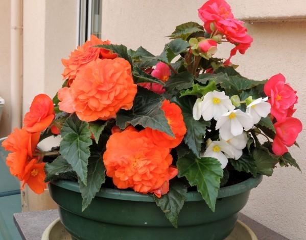 Begonias-tubereux-petits.jpg