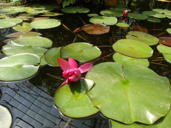 Palerme, Jardin botanique, Nénuphars 4