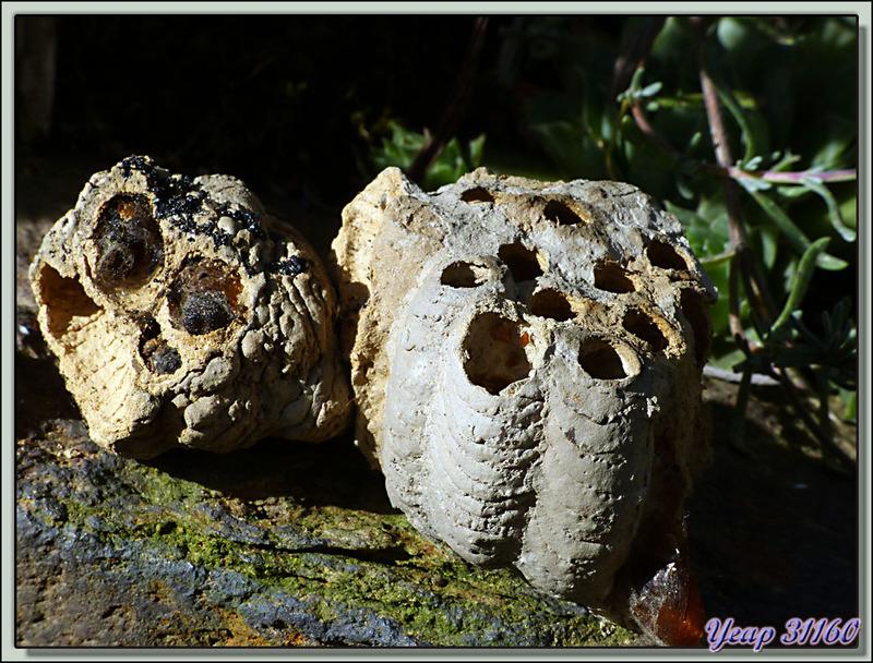 """Guêpe maçonne chasseuse d'araignées : Pélopée """"Sceliphron caementarium"""" - Lartigau - Milhas - 31"""