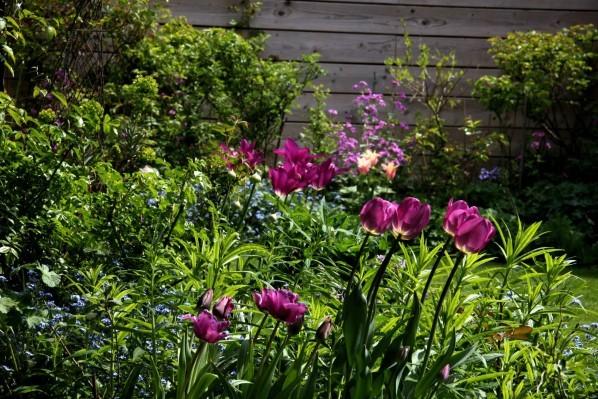 Tulipes Lavender7