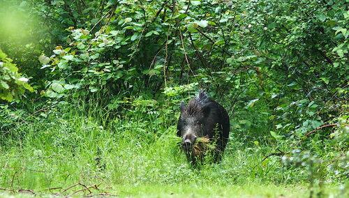 Sanglier mangeant de l'herbe