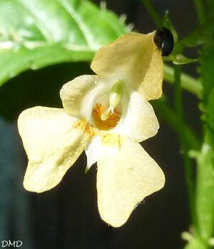 Impatiens parviflora  -  impatiente à petites fleurs