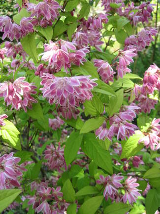 Deutzia scabra ' Tourbillon rouge '