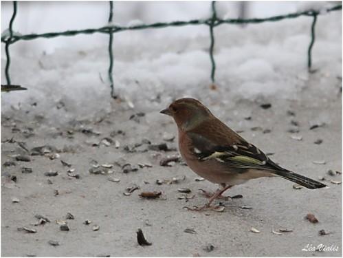 Oiseaux-3-3792-Pinson-des-arbres.jpg