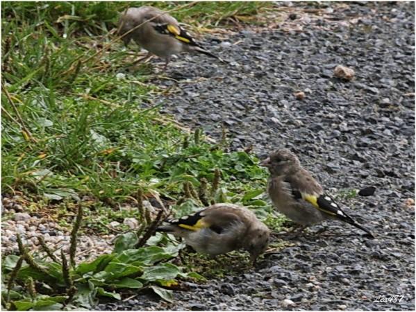 Oiseaux-3-3175-chardonnerets-juveniles.jpg