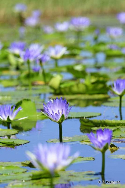 Water Lily at Guvalala