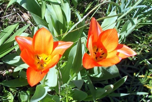 B2 - Tulipes