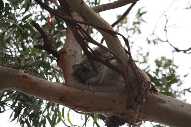 Koalas--3-.jpg
