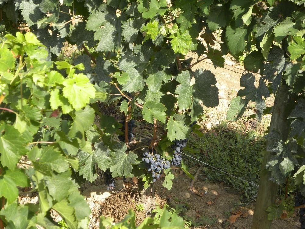vigne2-copie-1