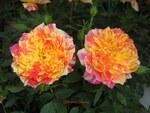 Photos de Roses 4