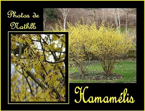 Hamamélis