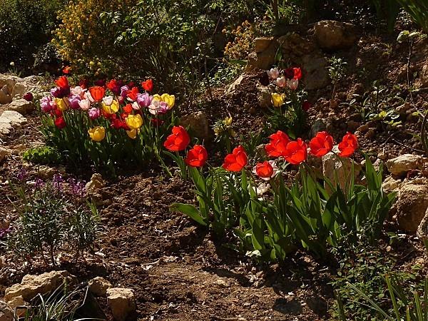 Tulipes variées-11