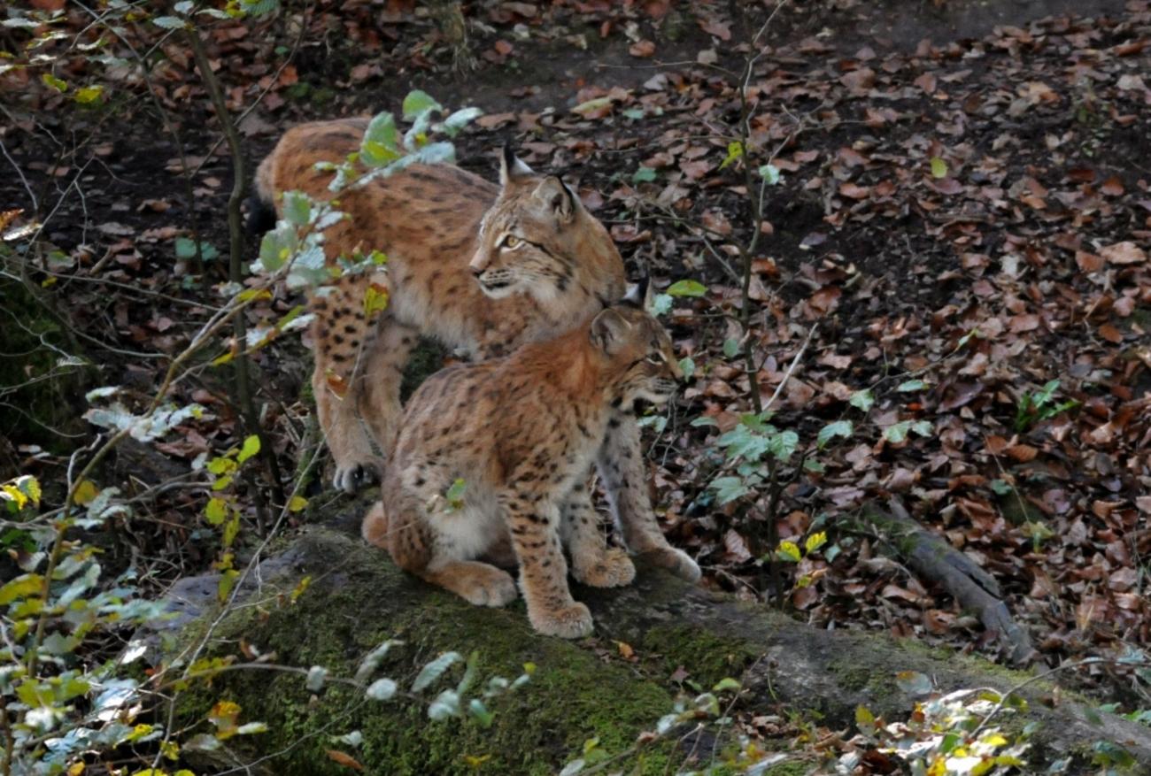 Lynx au parc de sainte Croix