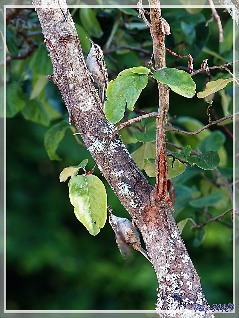 Madame et Monsieur Grimpereau des jardins, Short-toed Treecreepe (Certhia brachydactyla) - Lartigau - Milhas - 31