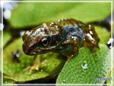 Les grenouillettes rousses (Rana temporaria) de mon bassin à poissons - Lartigau - Milhas - 31