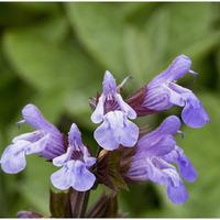Fleurs de romarin