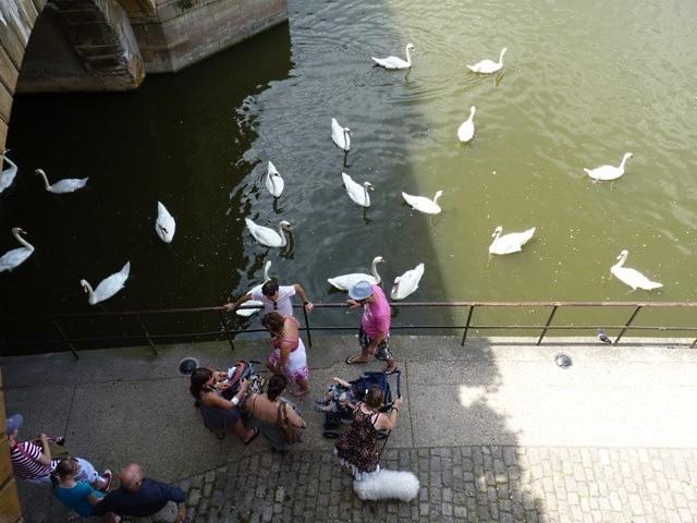 Metz les cygnes de la Moselle 9 été 2010