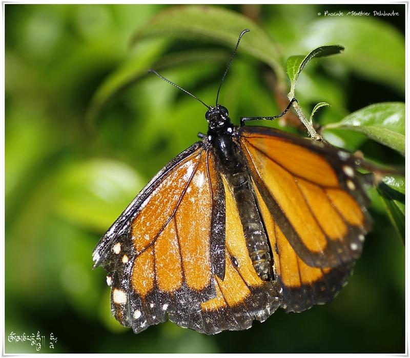 Monarque aux ailes bien usées (Danaus plexippus) - Nymphalidae