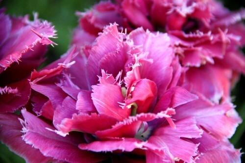 Tulipes Mascotte4