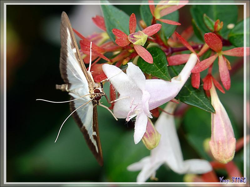 Une invasion par le papillon Pyrale du buis (Cydalima perspectalis) - Lartigau - Milhas - 31
