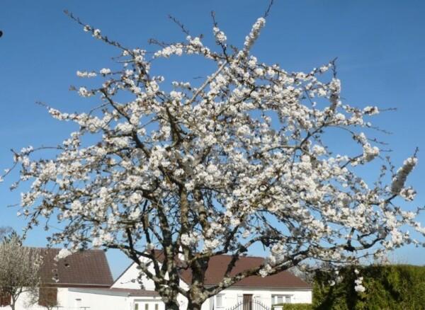 Premieres-fleurs-aux-arbres-6.JPG