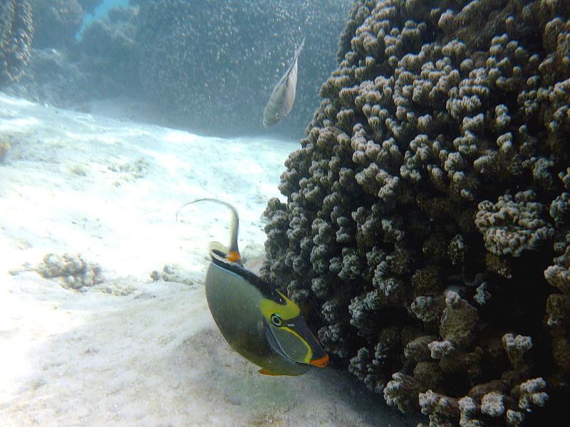 Nason à éperons orange ( Naso elegans) - Moorea - Polynésie française