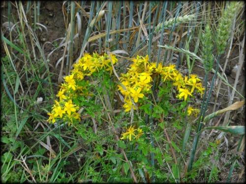 Fleurs jaunes des champs