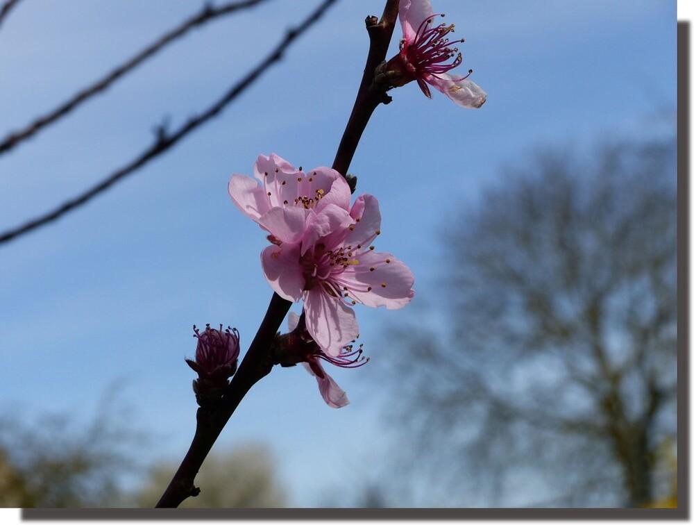 on fera même des confitures si la fleur évite la déconfiture (la grêle le vent le gel)