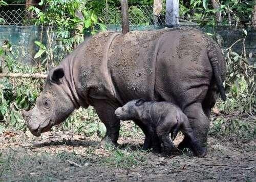 Rhinocéros de Sumatra (Dicerorhinus sumatrensis)