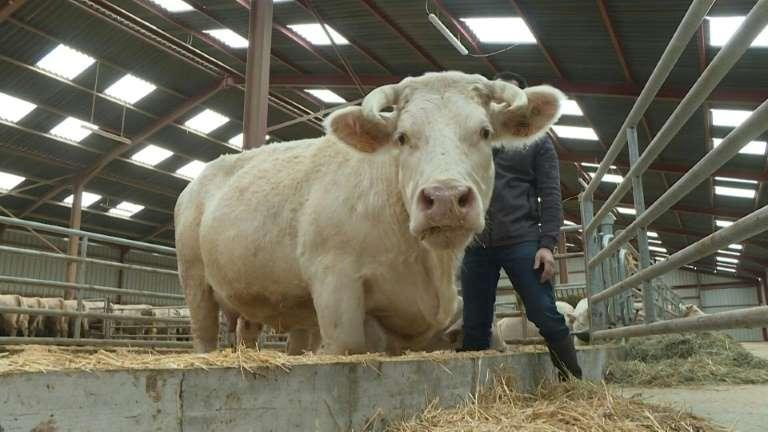Arrivée d'Idéale, vache égérie du Salon de l'Agriculture