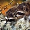 animal_couple