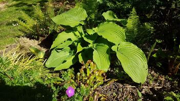 Hosta Jurasic park