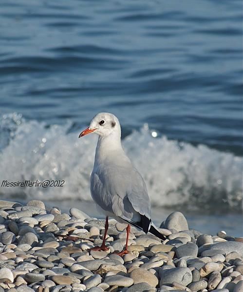 La-plage-Mouette-rieuse.jpg