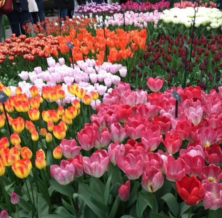 Fleurs à Keukenhof.