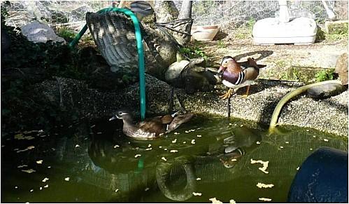 Nos canards mandarins le 9.04.2011