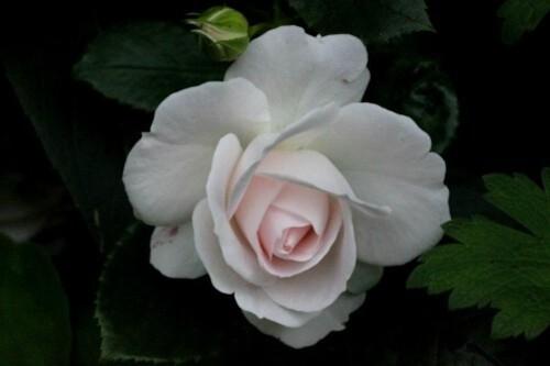 Aspirine Rose1